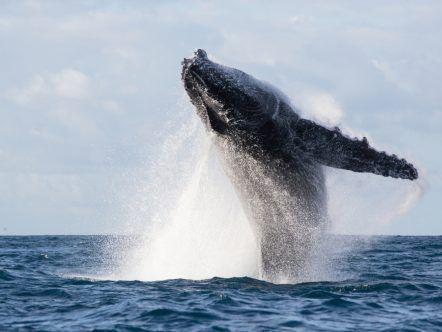 Avistamiento Ballenas en el  Pacifico Todo Incluido